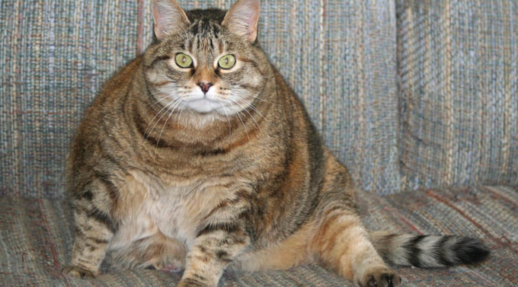 My Fat Cat: An Epidemic Of Cat Obesity