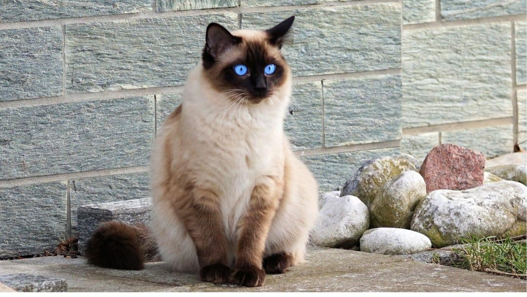 Everything You Want To Know About Pointed Cat Colors Life Cats